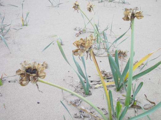 Κρινάκι της Θάλασσας (Pancratium maritimum)